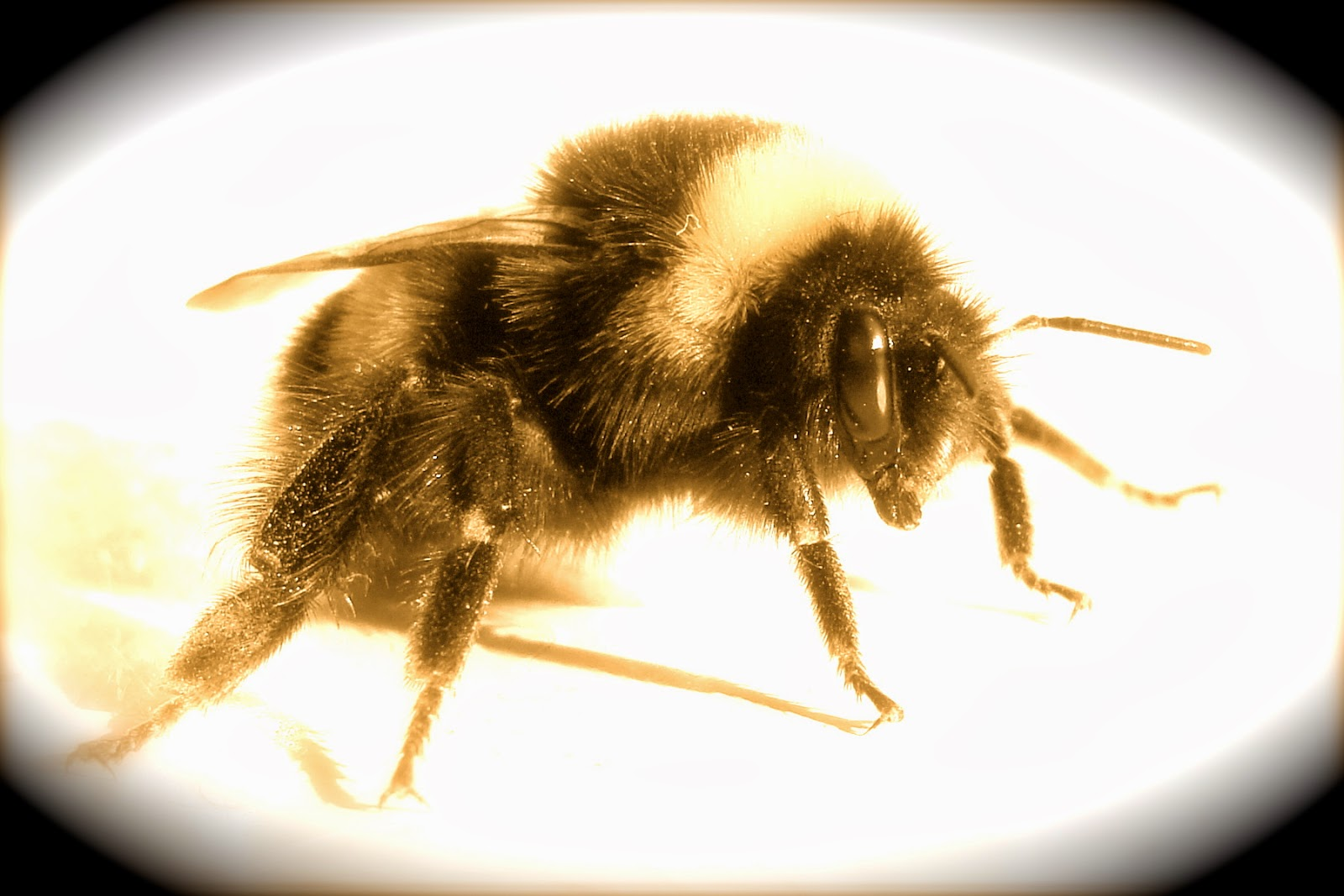 NEW ENGLAND FOLKLORE: Moll Ellis's Bee: The Witch's Familiar