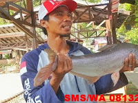 Umpan serbuk ikan patin