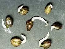 Germinação de Sementes de Maconha