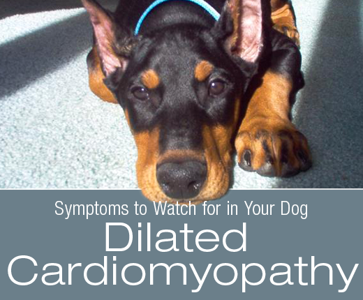 Symptoms to Watch for in Your Dog: What Would Dilated Cardiomyopathy (DCM) Look Like in Your Dog?