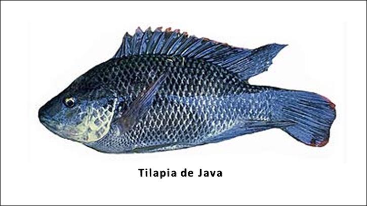 Acuicultura en panama introducci n de especies marinas en for Peces que se cultivan en estanques en panama