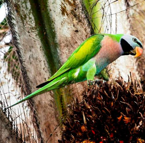 Indian birds - Picture of Red-breasted parakeet - Psittacula alexandri