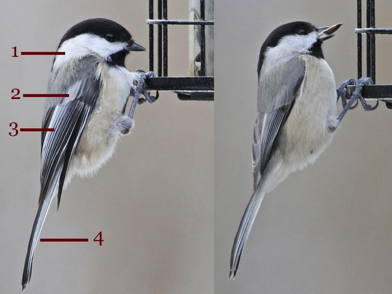 Bird that looks like a chickadee 10