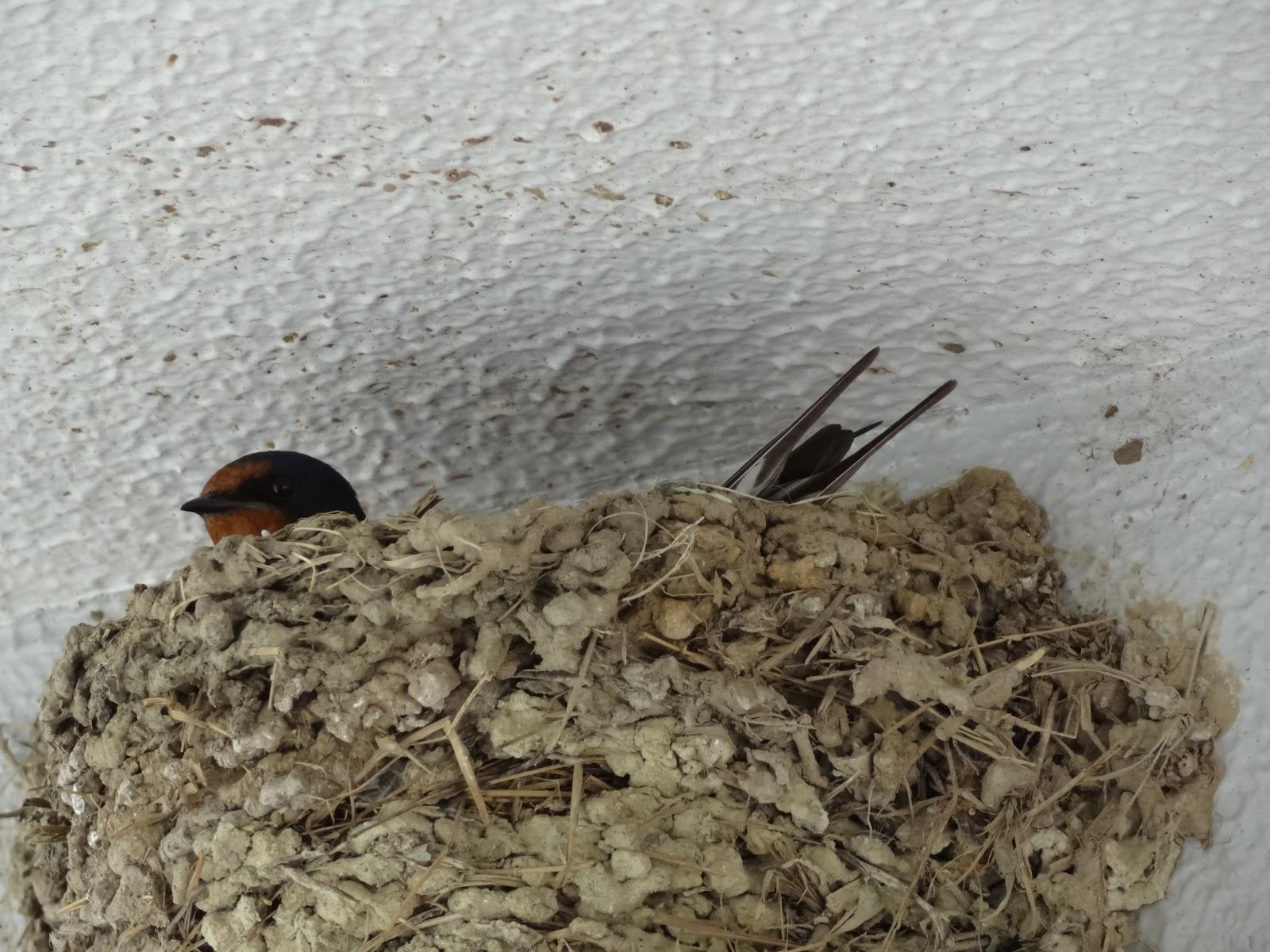 時期 巣 ツバメ の