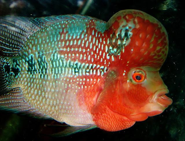 Perikanan, Ternak Ikan, Jenis ikan hias Air Tawar Untuk Akuarium, Ikan koi, Ikan Koki, Ikan Sapu-Sapu, Ikan Arwana, Ikan man fish, Ikan Lou Han, Ikan cupang, Macam-Macam Ikan Hias Air tawar