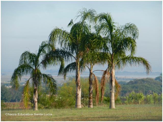 Palmeras pindó: tronco liso y hojas compuestas - Chacra Educativa Santa Lucía