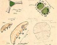 Fig. 2. Tekeningen van venorganismen door M.W. Beijerinck (oorspronkelijk formaat 11 x 15 cm, map 316). In: Aanvulling register archief Hydrobiologische Vereniging (NecoV), pag. 4