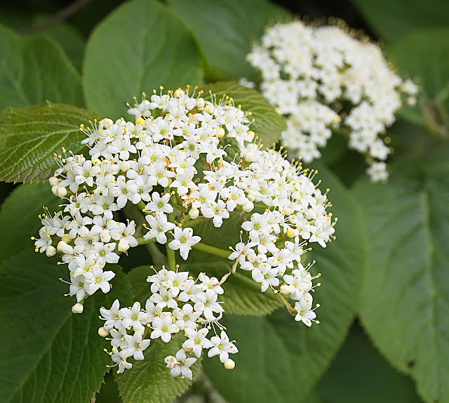 Close up showing umbel of five petalled white flowers