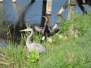 anhinga trail florida everglades heron anhinga