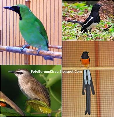 Foto Burung Kicau Terbaru dan Cara Merawat Pekicau
