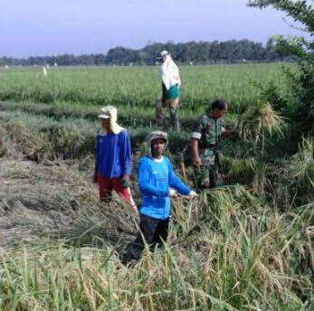 Untuk Sukseskan Swasembada Pangan, Babinsa Koramil 06/Perdagangan dampingi Petani Panen Padi