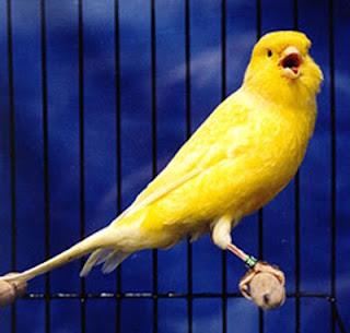 Obat Kutu Burung Kenari tradisional Terbaik