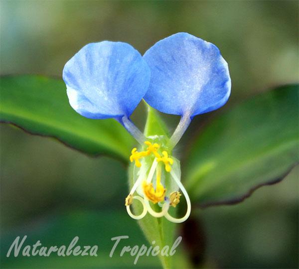 Flor de Commelina sp