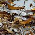 Seaweed Brown Seaweed Consumption Worldwide