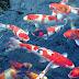 Pria Ini Raup Rp9 Juta/Bulan dari Ikan Koi