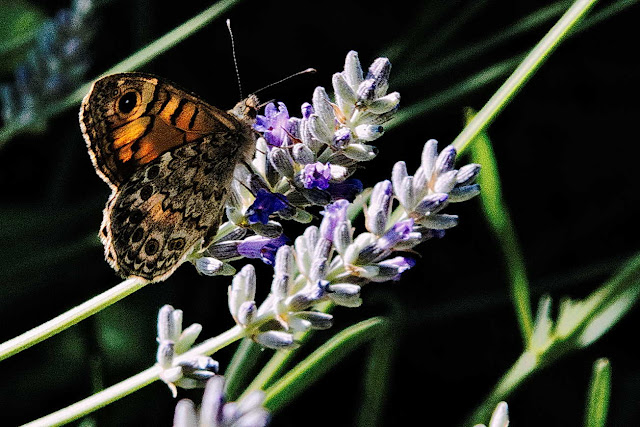 Mariposa o paloma