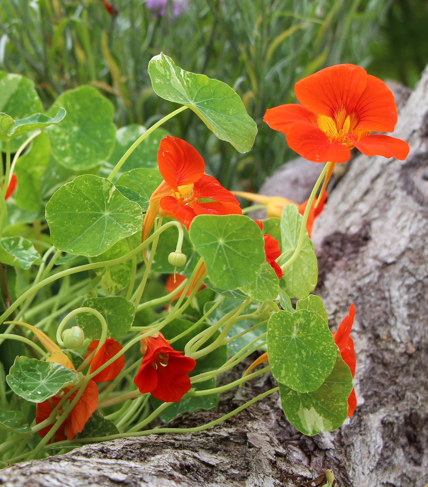 Buy culinary herbs plants nasturtium plants - I Must Have Around 15 Nasturtium Plants Around The Allotment The Climbing Variety Are Always Sown With My Beans Not Only Does It Look Pretty Climbing Up