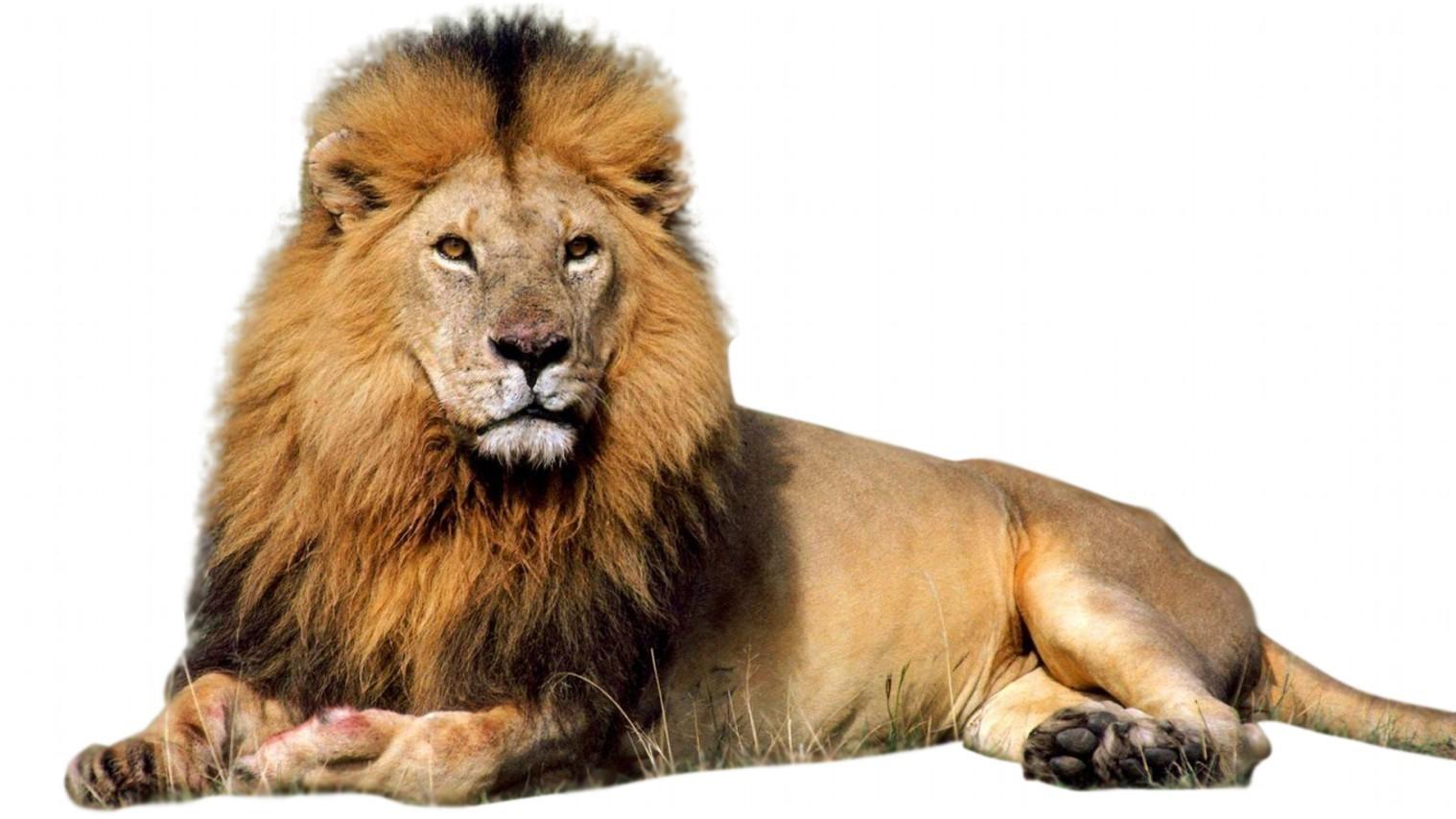 Contoh Gambar Singa – Cuitan Dokter