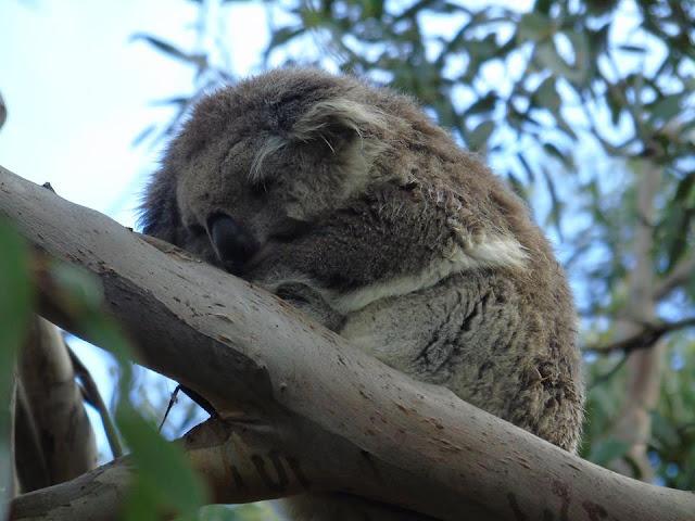 koala Australia phillip island
