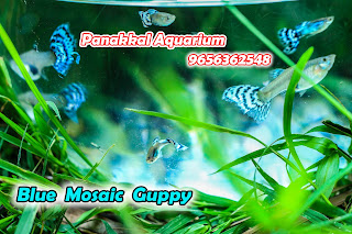 Panakkal Aquarium | Guppies For Sale