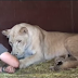 Lioness Calmly Lets Man Touch Her Newborn Cubs