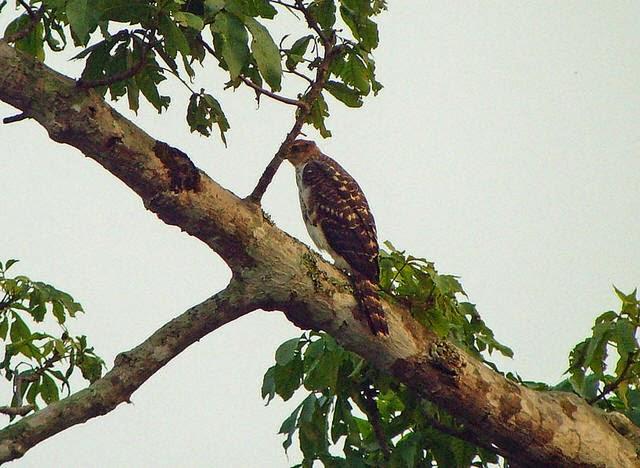 Águila halcón de Cassin: Aquila africanus