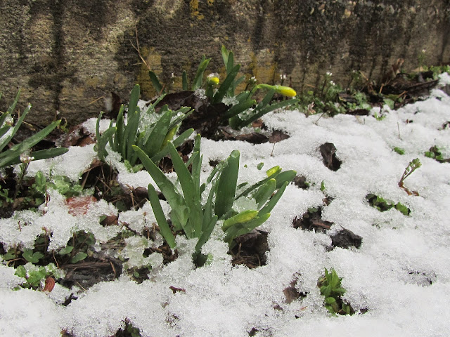 Narcissus Snow