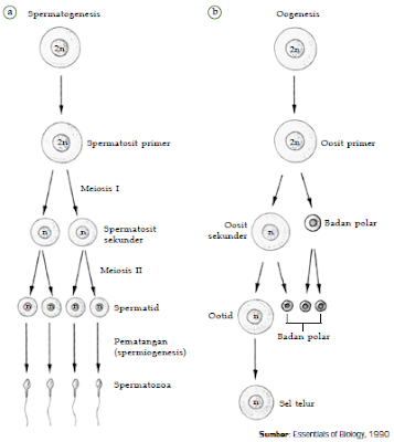 Pengertian, Proses Gametogenesis atau Pembentukan Gamet Pada Hewan, Manusia dan Tumbuhan
