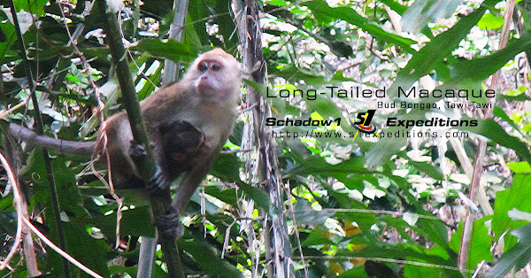 Long-Tailed Macaque - Schadow1 Expeditions