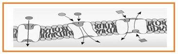 Biologi gonzaga try out un sma 2011 new perhatikan diagram transport zat melalui membran sel ccuart Choice Image