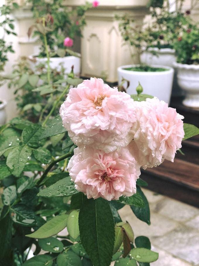 Sân vườn 50 m2 phủ kín hoa hồng của bà mẹ Hòa Bình -5
