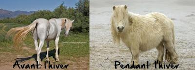Robe d'hiver, poil d'hiver du cheval. Poil de jarre, poil de couverture, duvet.
