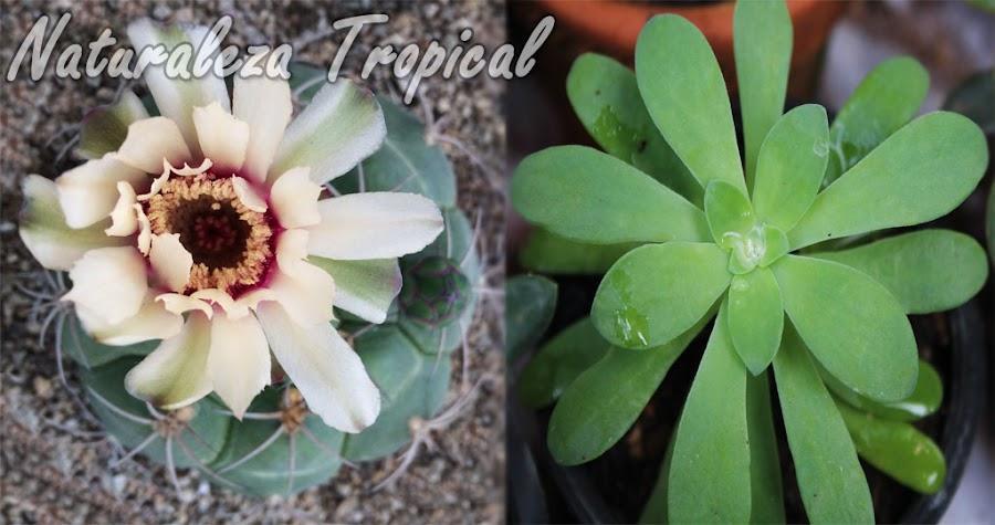 ¿Cultivo cactus o Suculentas no Cactáceas?