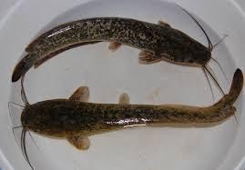 ikan lele dumbo
