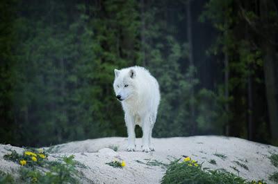 الذئب الابيض الشمالي