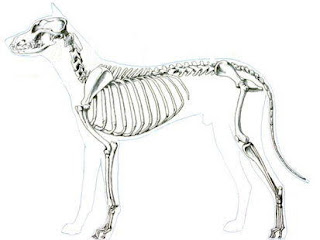 esqueleto do cão