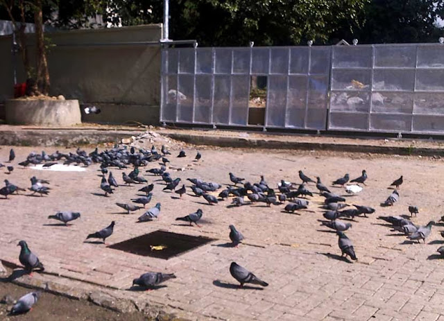 pigeons being fed in the city