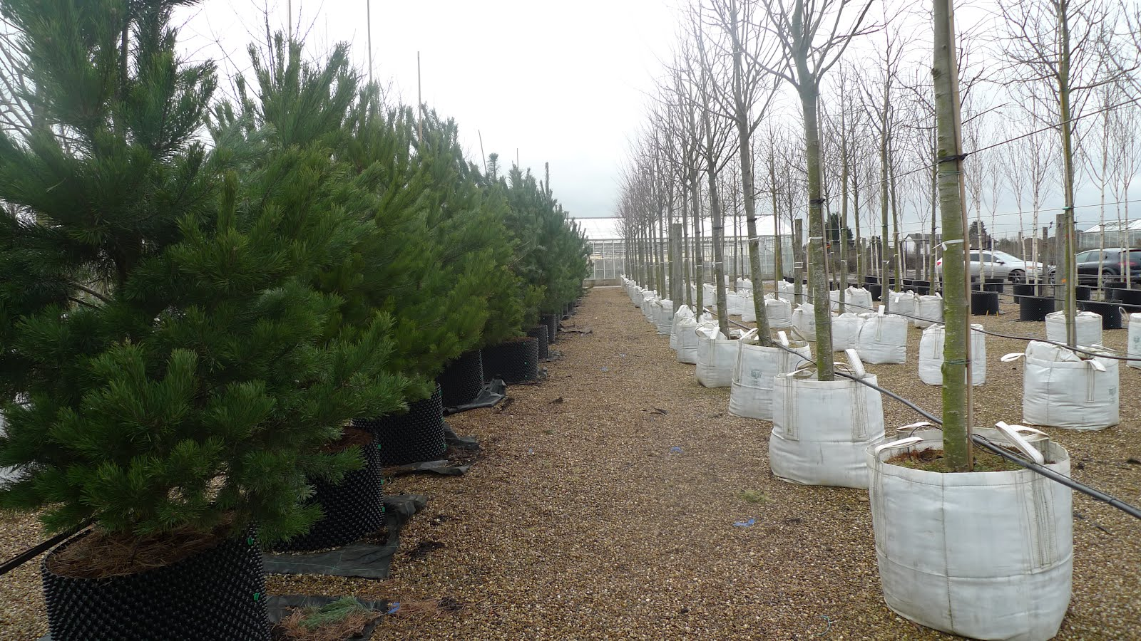 How to plant mature trees