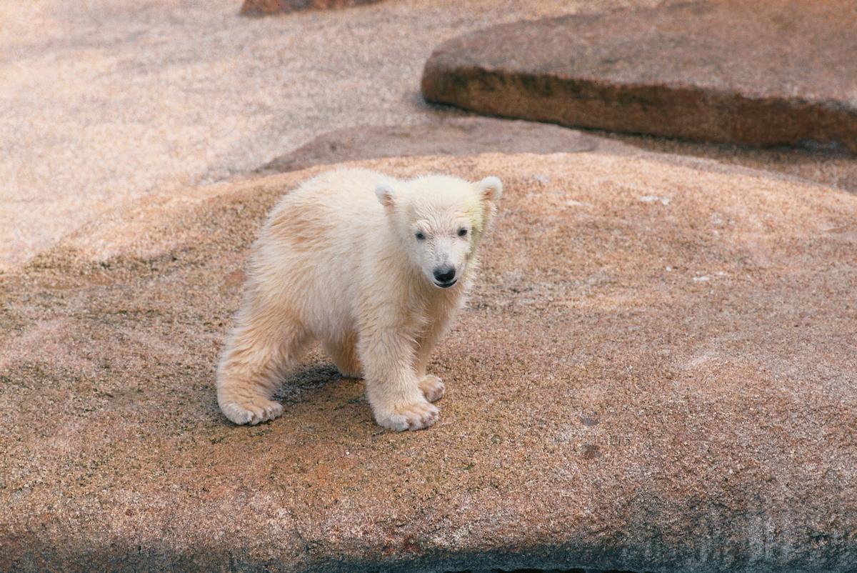 Inkua as a cub.
