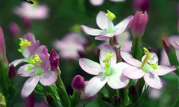 Centáurea menor (Erythraea centaurium, Gentiana centaurium, Chironia centaurium, Centaurium minus)