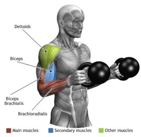 brachialis exercise - photo #38