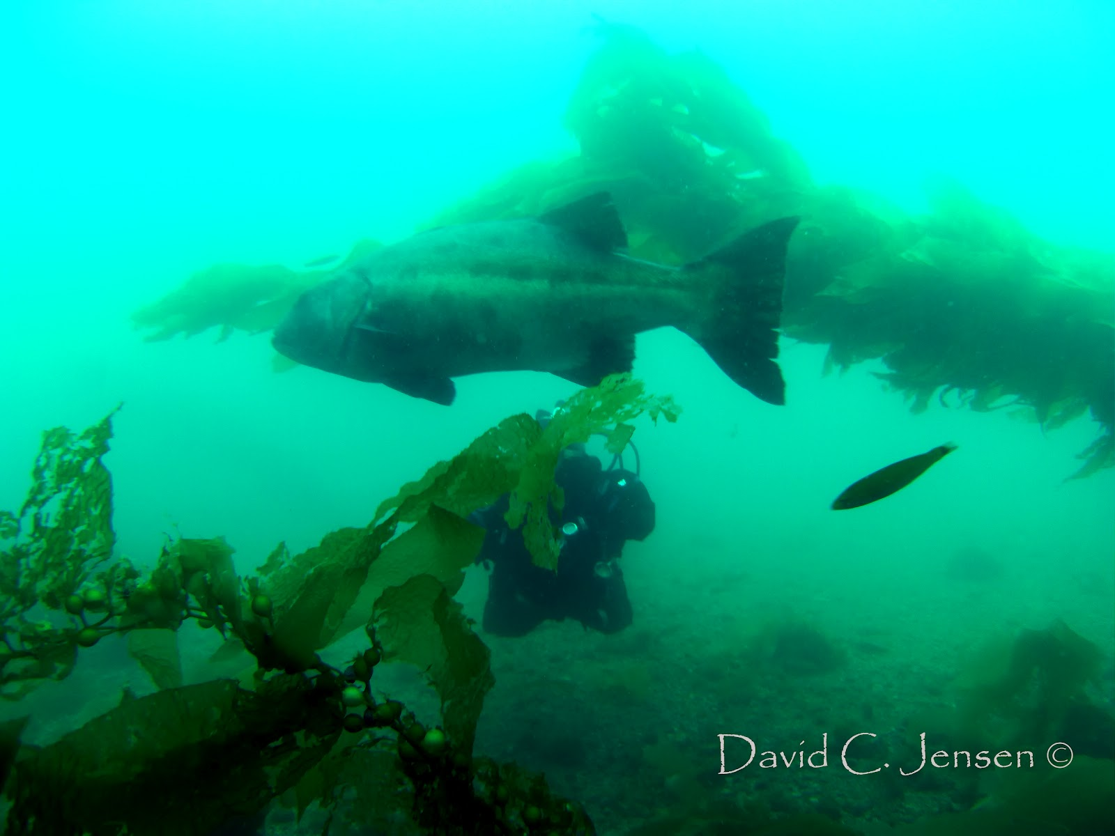 Diver Dave's Deco Stop: Diving Catalina Island