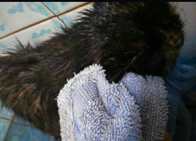 Membersihkan kuping kucing dengan kain