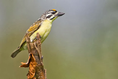Barbudito frentigualdo Pogoniulus chrysoconus