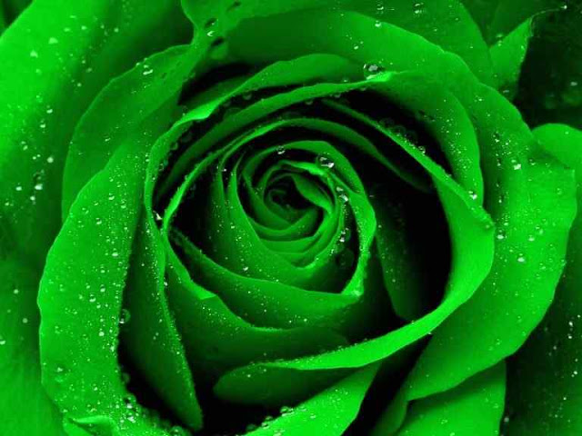 Green Roses HD Photos Free Download For Mobile