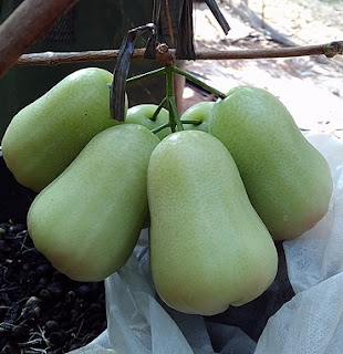 buah jambu air madu deli