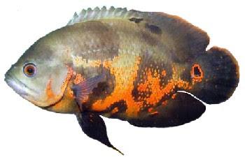 Peixe Apaiari (Astronotus ocellatus)