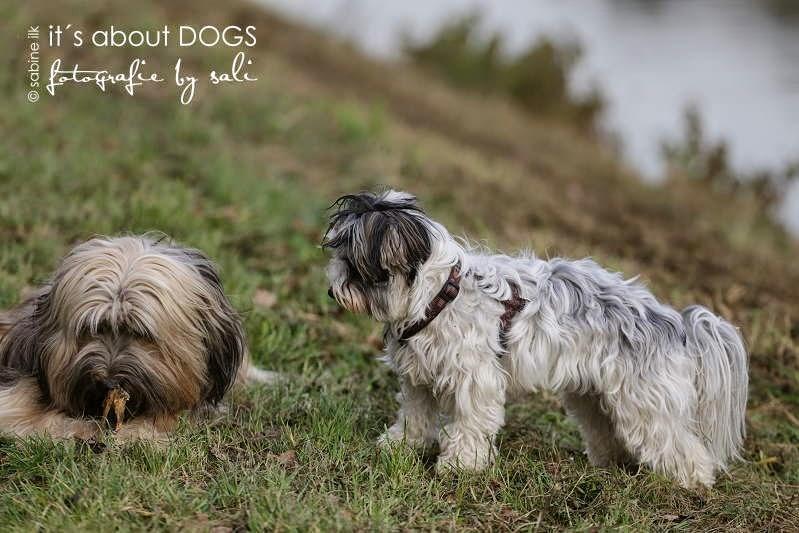 Biewer Yorkshire Terrier Lotta möchte gerne das Stöckchen von Tibet Terrier Chiru