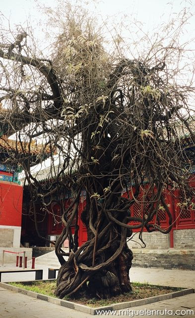 Arboles-antiguos-Templo-Confucio