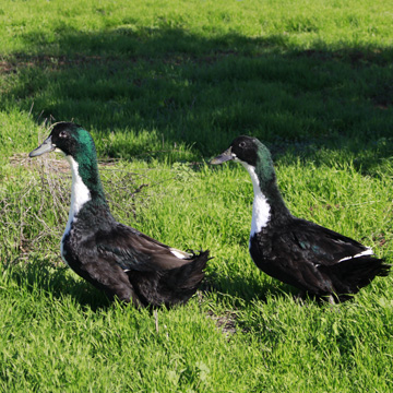 Metzer Farms Duck And Goose Blog Swedish Duck